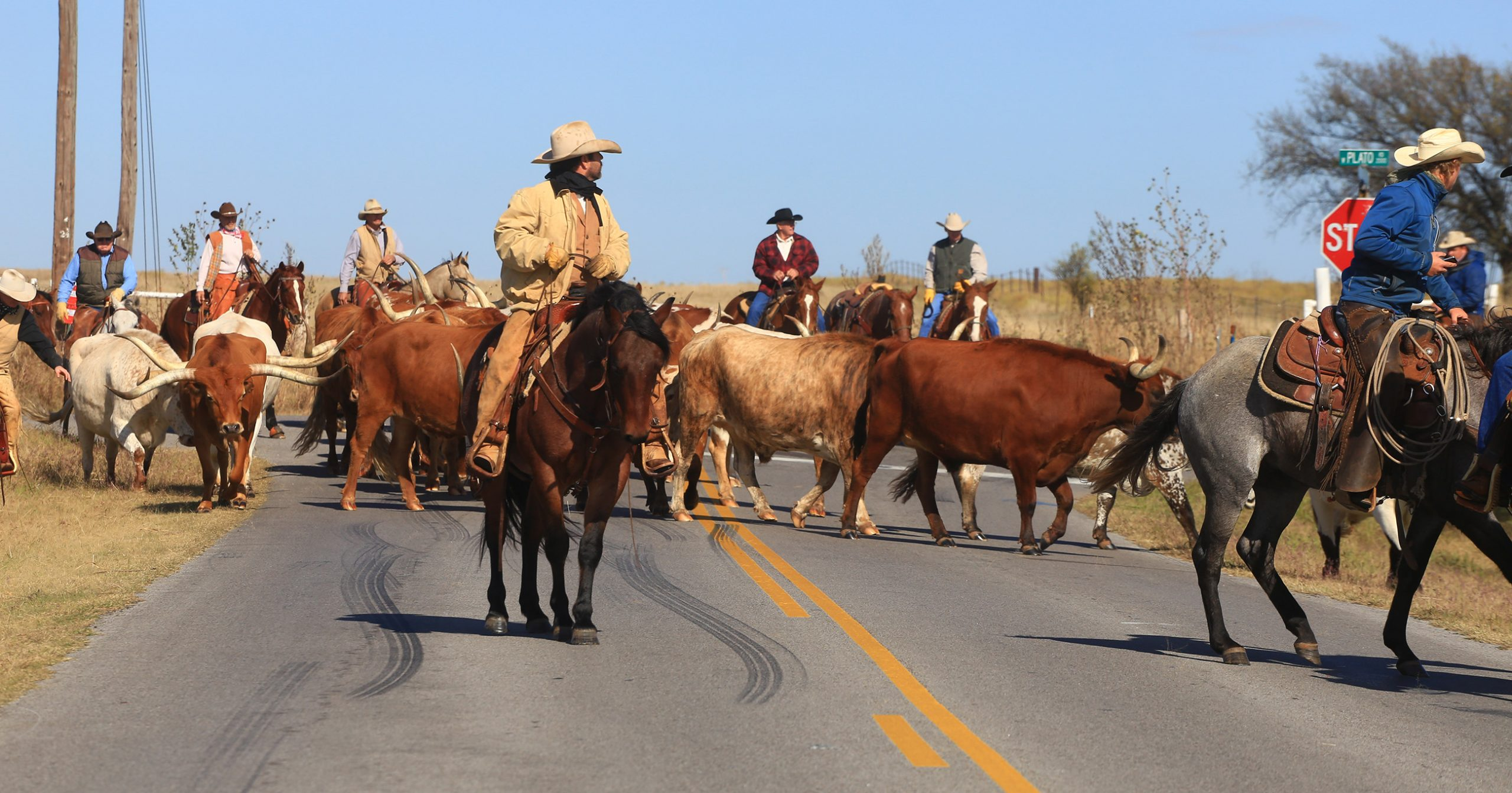 Cowboys driving cattle to the Heritage Center
